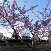 河津桜  その5