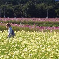 四日市田光の秋桜