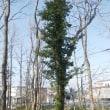 樹木ウォッチング冬から夏へ226ツルマサキ2