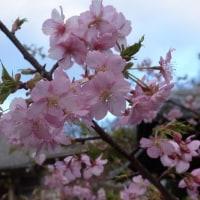 寒い、暖かい、桜・・・いろいろたのしんだ朝さんぽ。