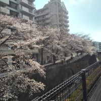 桜が見頃になってきました