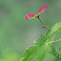 紅葉の種・・・