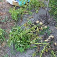 北海道ジャガイモ収穫