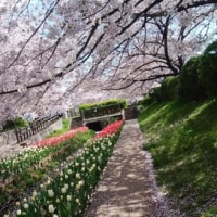 鴨居駅から鶴見川の桜