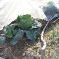 厳冬の畑の野菜たち