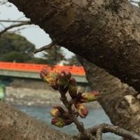 春遠からじ / Spring will come soon / 春天很快就會來臨 / 春天即将到来
