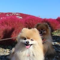 ひたち海浜公園で真っ赤な丘と青い空に出会った~