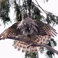 羽を広げたツミ(雌)