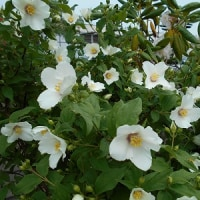 「梅花空木」 甘~い香りが漂い… 倖せな気分で昔を懐かしむ…