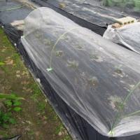 キャベツ「夢ごろも」(3~4月収穫)の植え付け(周年栽培中)