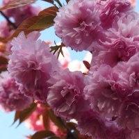 八重桜が満開!!  この木なんの木?