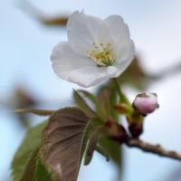 桜咲く(Ⅷ)