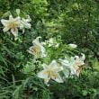 ・ 泉の森 ヤマユリが咲いています 2017