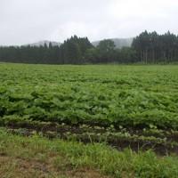 昨日、久しぶりに雨が降ったので野菜の苗が元気です。
