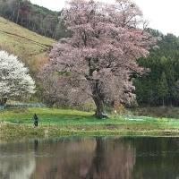 千鳥別尺山桜