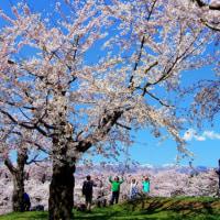 五稜郭公園の桜が満開。