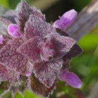 ヒメオドリコソウの花も開花して