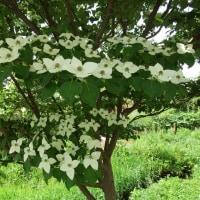 5月22日、夏のように暑い日~気になる木とヤマボウシ