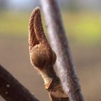 冬芽 オオカメノキ