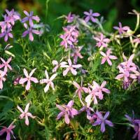 <イソトマ> 涼しげな青紫やピンクの星形の花が風に揺れて