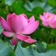 平の沢池のハス