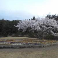 尾道の桜便り