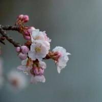 町田市立薬師池公園・熱海寒桜