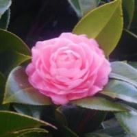 オトメツバキ、最初の1輪が咲きました