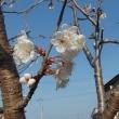 桜の日 3月27日