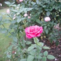奇麗咲にきました バラの「王妃アントワネット」