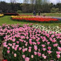 昭和記念公園・チューリップ(2)