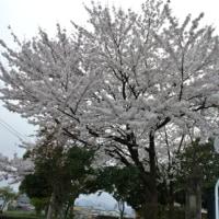 会津の桜情勢 🌸 湯川大橋、小田橋周辺