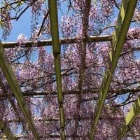 つつじと藤 Azalea and wisteria