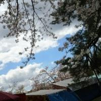 悠久山の散る桜