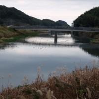 新川川の水鳥 オオバン他