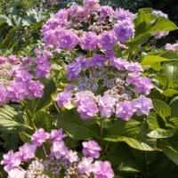 ♪~紫陽花~♪