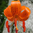 クルマユリは可愛くて鮮やかな橙赤色