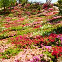 🐵 大村の芝桜💕