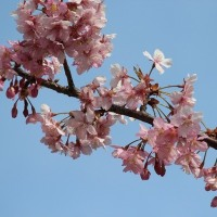 中山競馬場の河津桜