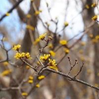 春を告げる黄色いサンシュユの花が咲き始めました