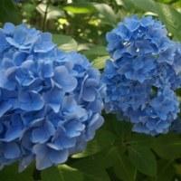 鎌倉の紫陽花にリベンジ(北鎌倉付近)