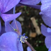 昨年 知ったアジサイの「装飾花」と「真の花」・・・今年は様子が・・・(~~)