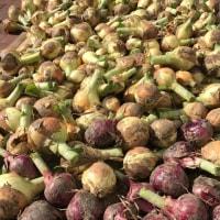収穫💓玉葱