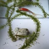 金魚飼育観察記録 コメット