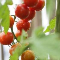 ミニトマトを初めて収穫しました