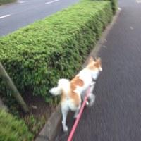 ハルと散歩