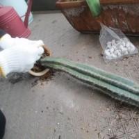サボテン植え替え