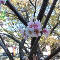 ご近所散歩 十月桜を見てくる