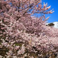 一の堰ハラネ春めき桜 2017 その2