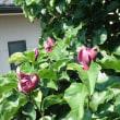 7月上旬 アジサイと一緒にシモクレンが咲く  、オジーの休憩室